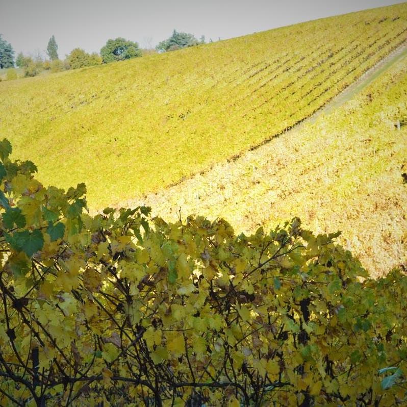 Panorama delle vigne Gaggioli
