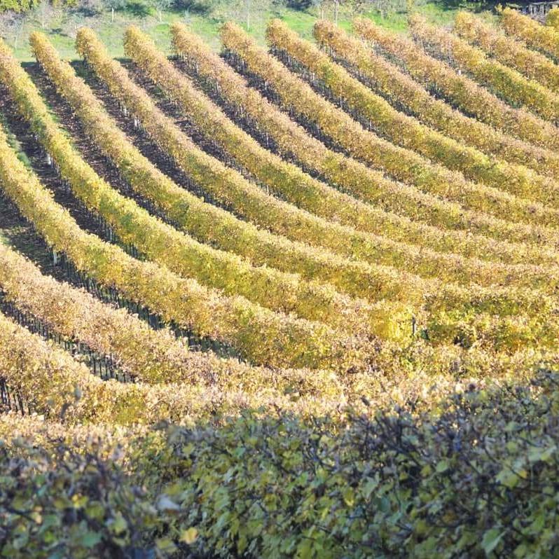 filari del Vigneto Gaggioli in provincia di Bologna