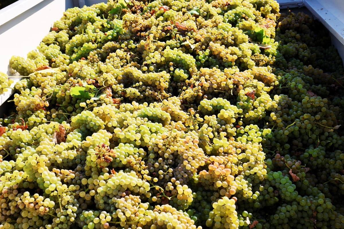 La raccolta dell'uva nell'azienda vitivinicola Gaggioli a Zola Predosa
