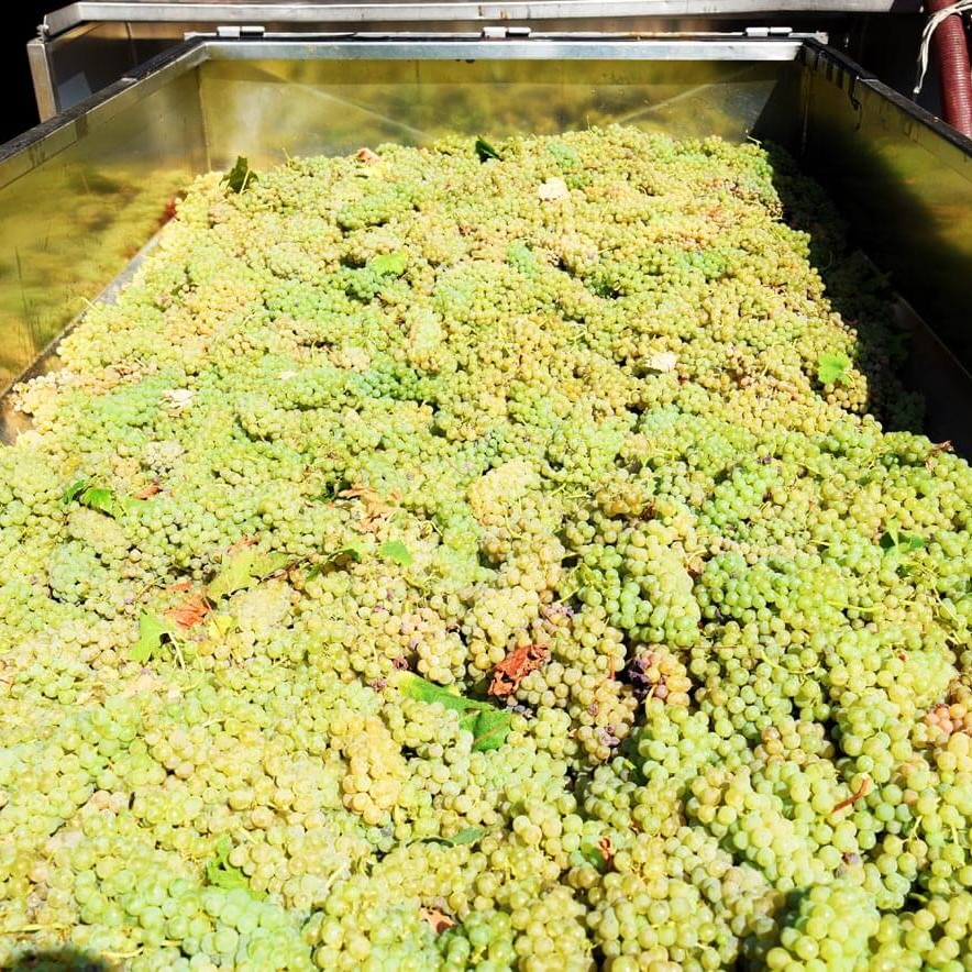 Fase iniziale della lavorazione delle uve per i vini Gaggioli